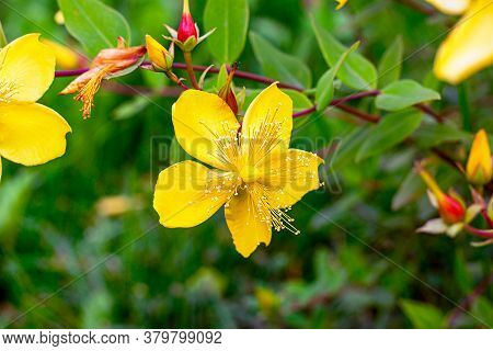 Fresh Yellow Hypericum Patulum Shrub Blossoming Flowers On Green Leaves Background In Spring And Sum