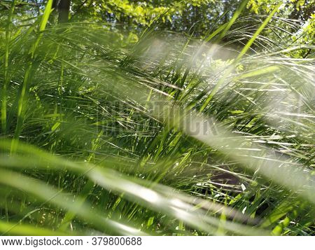 Meadow Grass. Blowing Wind Bend Blades Of Grass In Field. Soft Focus