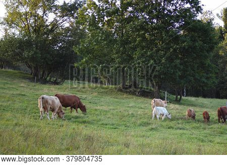 Cows In Green Field Animal Farm Country Dairy Livestock