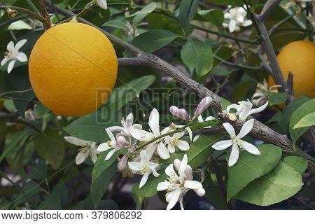 Close-up Image Of Meyer Lemon Fruit And Flowers