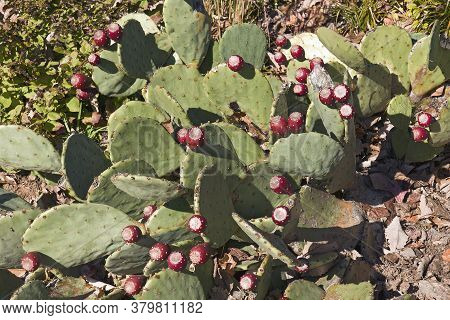 Cholia Cactus (opuntia X Beaver Creek). Called Prickly Pear Cactus Also