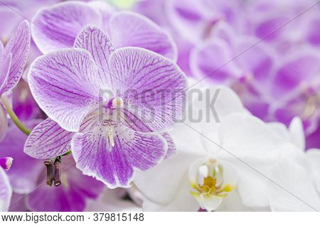 Floral Background. Phalaenopsis Orchid (moth Orchids) Pink And White Flowers Blooming In The Garden.