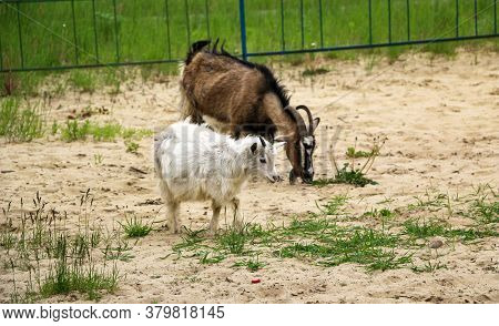 Goat With Beautiful Hair And Long Horns Grazes On Sandy Soil With Small Patches Of Grass. Goat Eats