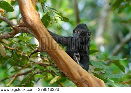 Cute Baby Of Endemic Monkey Celebes Crested Macaque Known As Black Monkey (macaca ) In Rainforest, T