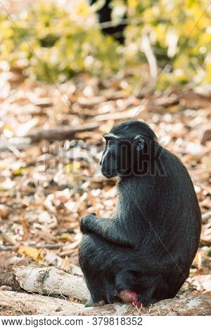 Endemic Monkey Celebes Crested Macaque Known As Black Monkey (macaca ) In Rainforest, Tangkoko Natur