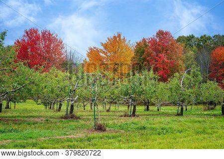 Apple Orchard Against Beautiful Autumn Foliage In New England. Blue Sky And White Clouds.