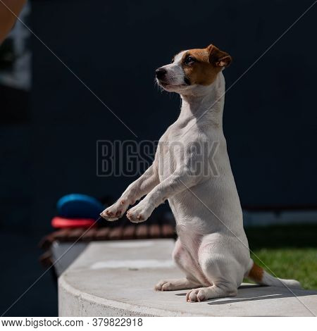 A Loyal Dog Fulfills The Command To Serve. Jack Russell Terrier Is Sitting On Its Hind Legs.