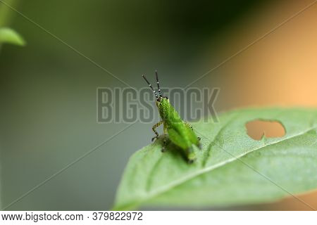 Green Grasshopper On Green Leaf. It Is A Plant-eating Insect With Long Hind Legs That Are Used For J