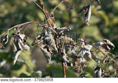 Disease Of Fruit Trees. Erwinia Amylovora Bacterium Causes Disease, Bacterial Burn Of Young Shoots