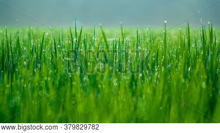 Dew Drops On Morning Rice Fields In Townscape