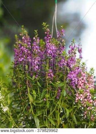 Forget Me Not  Angelonia Goyazensis Benth, Digitalis Solicariifolia Name Purple Flower Blooming In G
