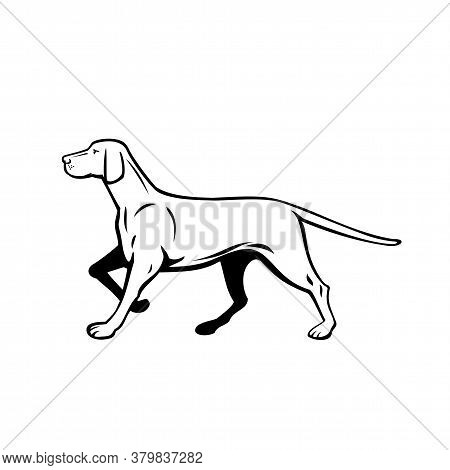 Retro Style Illustration Of A Hungarian Or Magyar Vizsla Pointer Dog, A Sporting Or Hunting Dog And