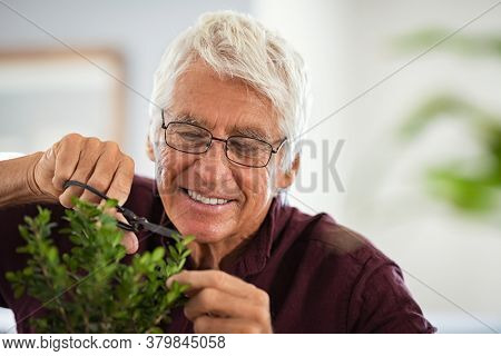 Close up face of happy senior man wearing eyeglasses trimming bonsai. Retired old gardener using scissors for pruning wood branches of bonsai. Happy elder man cutting the ornamental plant as a hobby.