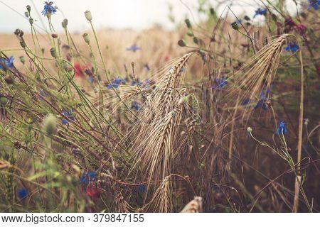 Close Up Of Cornflowers In A Wheat Field