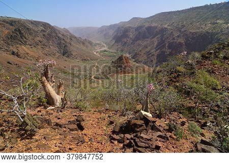 Yemen. Most Beautiful Canyon On Socotra Island, Wadi Dirhur (daerhu). Flowering Bottle Tree Is Endem