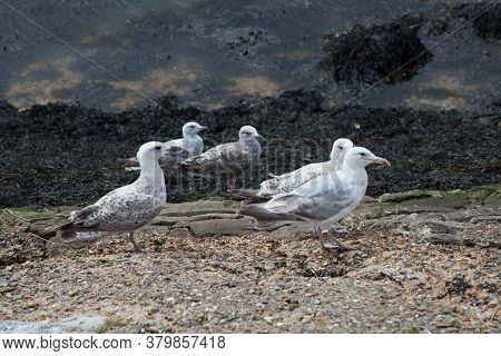 Young Herring Gulls Or Seagulls At The Coast In Southampton In The Uk