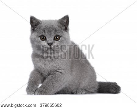 Cute Blue British Shorthair Kitten, Sitting Side Ways. Looking At Camera With Round Brown Eyes. Isol