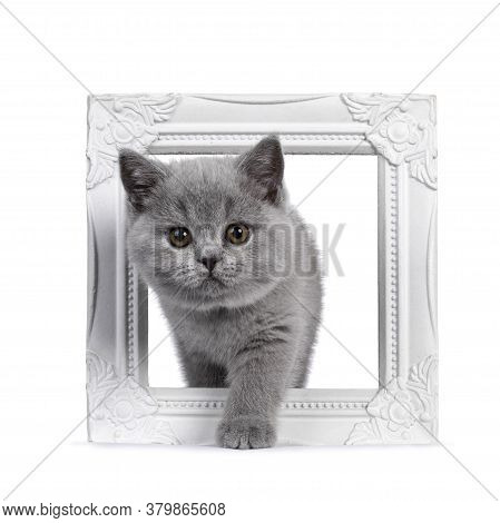 Cute Blue British Shorthair Kitten, Stepping Through White Photo Frame. Looking At Camera With Round