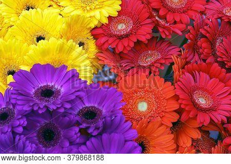Gerbera Flowers Background. Background From Gerbera Flower. Blooming Yellow, Purple And Red Gerbera