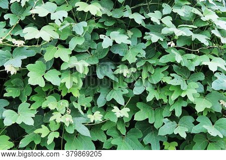 Green Plant Foliage Cluster Leaf Vine Leaves Close-up View In Bright Sunlight With Deep Contrasting