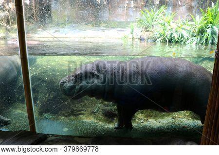 Water Hippo At In Water Aquarium In Zoo