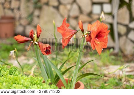 Amaryllis Red Pearl (hippeastrum) Plant In A Garden - Amaryllis Red Pearl Plant With Large Deep-crim