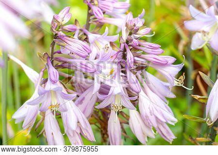 Fresh Light Purple Hosta (bluebell, Bellflower) Blossoming Flowers On Green Leaves Background In Spr