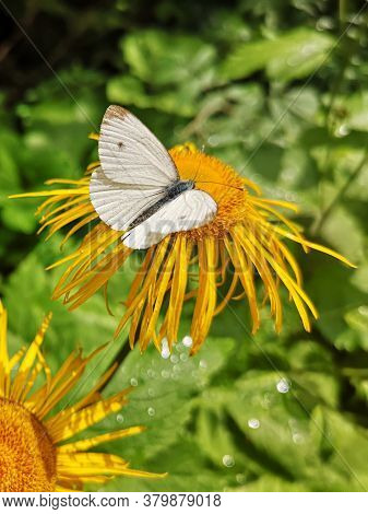White Butterfly On Yellow Oxeye  Flower In The Forest   - Pieris Brassicae, The Large White, Also Ca