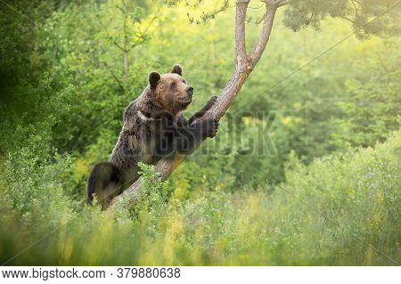 Majestic Brown Bear Climbing On Tree In Summer Nature.