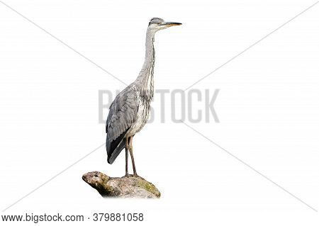 Alert Grey Heron Sitting On Bough Isolated On White