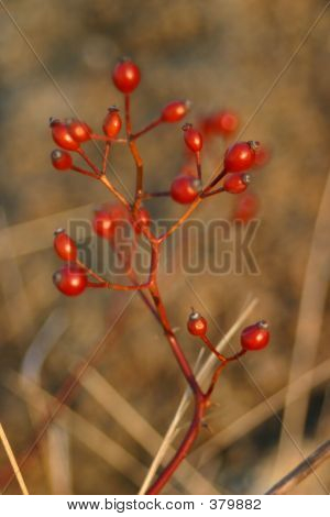 Winter Berries In Sun