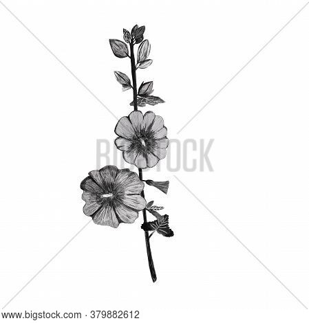 Black And White Pencil Drawing Mallow Flower Isolated On White. Postcard, Mug, Stationery, Textile,