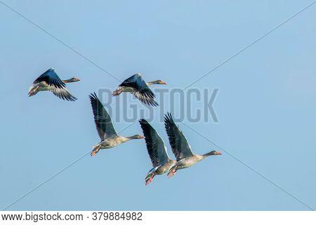 Flock Of Greylaggeeseflight (anser Anser)wildlife Scene Nature