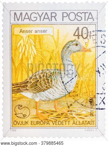 Hungary - Circa 1980: A Stamp Printed In Hungary Shows Graylag Goose, With The Inscription Anser Ans