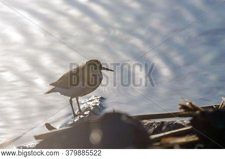 Common Sandpiper Water Bird(actitis Hypoleucos)