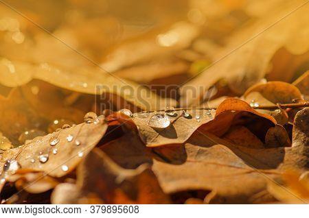Autumn Oak Leafes In Autumn. Autumn Oak Leaves Background
