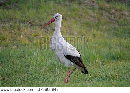Stork Walks Through The Meadow In Search Of Food At Sunset. Spring Season, May. Ukraine. Europe.