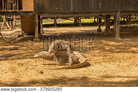 Two Komodo Dragons Fighting At A Village On Rinca Island, Komodo National Park, Flores, Indonesia