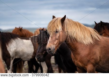 Horses In Iceland. Wild Horses In A Group. Horses On The Westfjord In Iceland. Composition With Wild