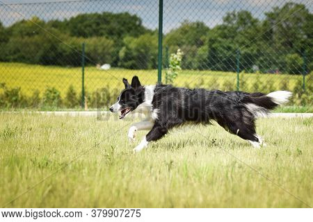 Crazy Jung Female Of Border Collie Is Running Outside. She Is So Happy And Funny.