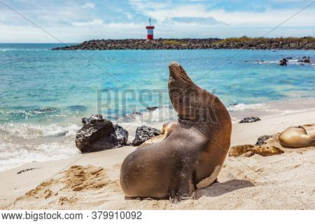 Galapagos Sea Lion in sand lying on beach. Wildlife in nature, animals in natural habitat. Mann Beach (Playa Mann), San Cristobal, Galapagos, Ecuador, South America.