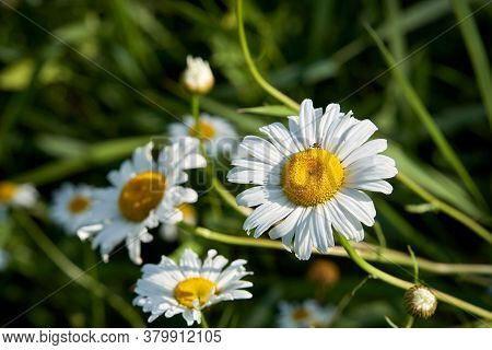 Flowering. Chamomile. Blooming Chamomile Bush, Chamomile Flowers On A Meadow In Summer. Close-up