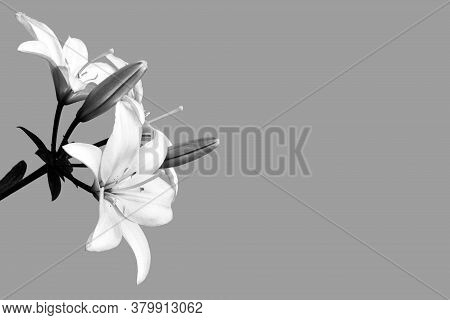 Condolence Card With Lily Flowers Isolated On Grey Background With Copy Space
