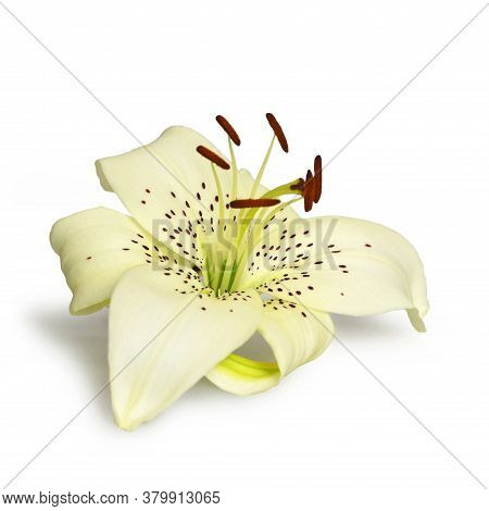 White Asiatic Lily Flower Isolated On White
