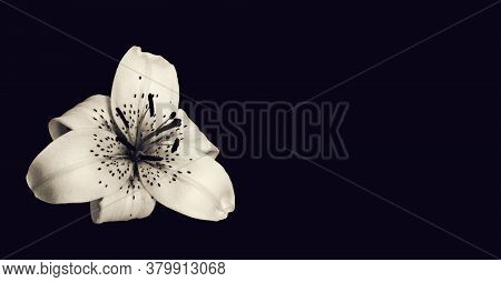 Sympathy Card With White Lily Flower Isolated On Black Background With Copy Space