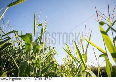 Corn Field In The Evening Sun: Corn Almost Ready For The Harvest