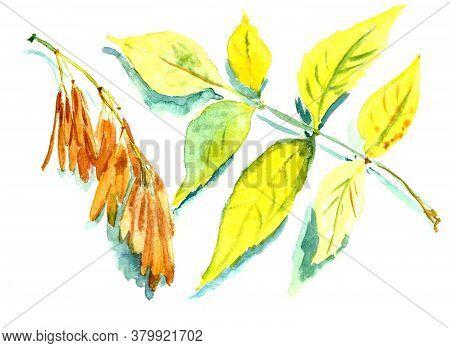 Autumn Herbarium, Autumn Yellow Ash Leaf And Ash Seeds, Watercolor Painting On White Background