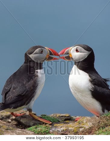 Two Funny Puffins