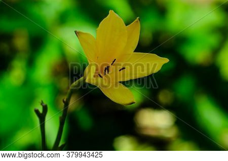 Yellow Lily On A Flowerbed In A Garden