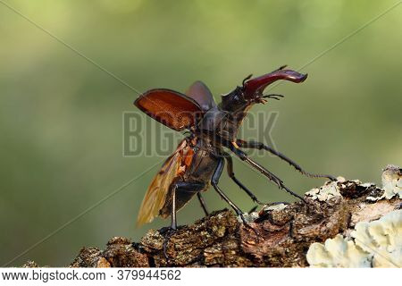 The Stag Beetle (lucanus Cervus) Is Preparing To Start To Fly. The Large Beetle Takes Off From A Bra